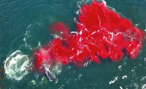 シャチに狙われたら絶対に逃げられないという事がよく分かる映像 南大西洋沖