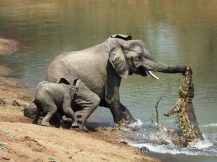 【驚愕】象がワニにガチ切れした結果・・・(動画あり)